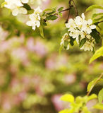 Background on the tree beautiful white flowers buds Stock Photos