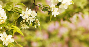 Background on the tree beautiful white flowers buds Stock Photo