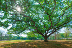 Background of tree branches with green foliage and sun radius in Royalty Free Stock Photography