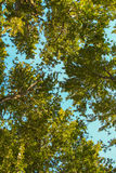Background Of Tree Canopies Royalty Free Stock Photos
