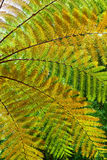 Background of the tree fern leaves. Beautiful pattern of great green, yellow and orange transparent textured leaves on tree fern branches in the tropical jungle Royalty Free Stock Photography