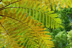 Background of the tree fern leaves. Beautiful pattern of great green, yellow and orange transparent textured leaves on tree fern branches in the tropical jungle Royalty Free Stock Image