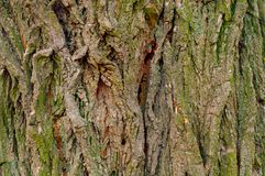 Background of a tree with green moss Royalty Free Stock Images
