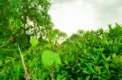 Background tree green, wood. The background of the green tree of natural forest is shady forest and shade Royalty Free Stock Images