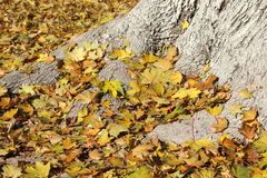 Background of tree roots and yellow leaves Royalty Free Stock Image