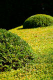 Background of the trimmed bushes Stock Images