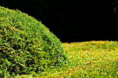 Background of the trimmed bushes Royalty Free Stock Photos