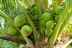 Background tropical coconut set of green unripe fruits growing on a palm tree on a background of foliage royalty free stock images