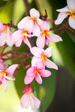 Background of tropical flower Royalty Free Stock Photos