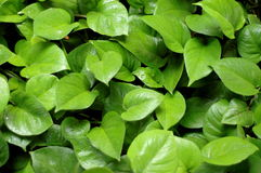 Background Of Tropical Leaves Stock Image