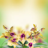 Background of tropical orchids Royalty Free Stock Photos