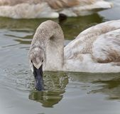 Background with a trumpeter swan drinking water. Photo of a trumpeter swan drinking water Royalty Free Stock Image