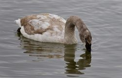Postcard with a trumpeter swan drinking water. Background with a trumpeter swan drinking water Royalty Free Stock Photos