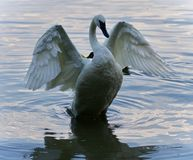 Background with a trumpeter swan showing wings. Postcard with a trumpeter swan showing wings Royalty Free Stock Photo
