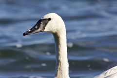 Image of a trumpeter swan swimming in lake. Background with a trumpeter swan swimming in lake Royalty Free Stock Image
