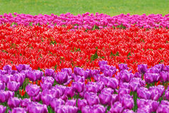 Background with tulip fields in different colors stock photos