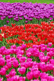 Background with tulip fields in different colors. Background with beautiful tulip fields in three different colors (focus only on red flowers royalty free stock photo