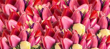 Background of tulip flowers royalty free stock images