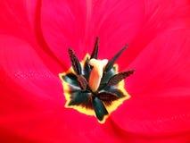 Background tulip Royalty Free Stock Photos