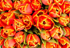 Background from tulips Stock Images