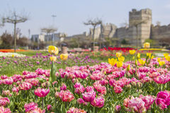 Background tulips in the background of the Yedikule, Istanbul Royalty Free Stock Photography