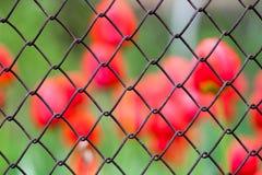 Background tulips Stock Image