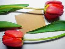 Background with tulips. The photo shows two tulips on a white background stock photography