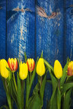 Background tulips spring flower wooden blue Stock Images
