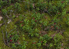 Background twigs and berries cranberries on the forest green mos Royalty Free Stock Images