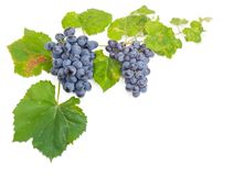 Clusters of blue grapes on the vine with leaves Stock Images