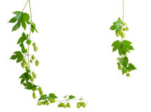 Background of two a hanging branches hops, forming a frame Stock Photography