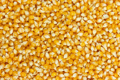 Background of uncooked corn grains Royalty Free Stock Photography