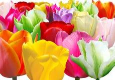 Background from varicoloured tulip Stock Image