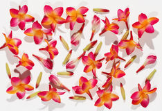 Background of variegated red freesias Royalty Free Stock Image