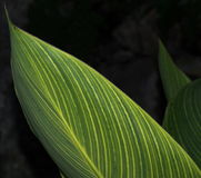 Background Of Variegated Yellow And Green Plant Stock Photography