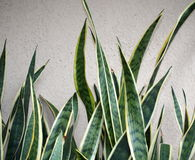 Background Of Variegated Yellow And Green Plant Royalty Free Stock Photos