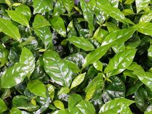 Fresh young leaves of coffee. Background from a variety of green shiny wax dense leaves of coffee tree, creating a fresh organic texture of nature royalty free stock image
