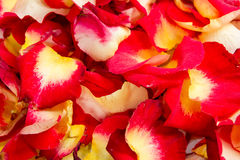 Background of various color rose petals. Close up royalty free stock image