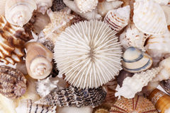 Background of various kind of seeshells, close up Royalty Free Stock Image