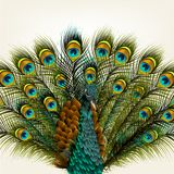 Background with vector detailed peacock on white for design Royalty Free Stock Image