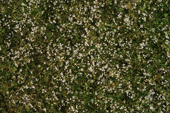 Background of very little white flowers. Background of small white flowers similar to daisy with green stems and leaves on the ground. Suitable for background Stock Photography