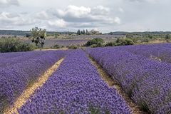 Background with vibrant purple lavender fields at mountainous, late-blooming location in Provence, France. Landscape of vivid purple lavender fields at stock photography