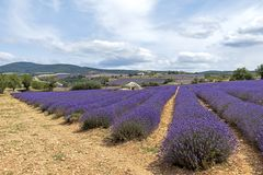 Background with vibrant purple lavender fields at mountainous, late-blooming location in Provence, France. Landscape of vivid purple lavender fields at royalty free stock photos