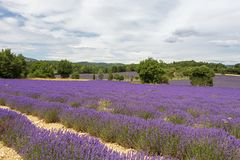 Background with vibrant purple lavender fields at mountainous, late-blooming location in Provence, France. Landscape of vivid purple lavender fields at royalty free stock images