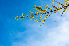 Background with vibrant Spring yellow blossom in sun rays Royalty Free Stock Photos