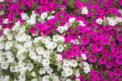 Background - vibrant white and pink petunia - surfinia flowers Stock Photography