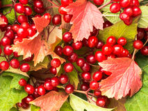 Background of viburnum berries with leaves. Background of red leaves and viburnum berries Stock Photography