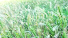 Background video grasses in the wind stock video
