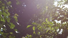 Background video, green foliage, bathed in radiant sunlight. The rays of the sun through the fog, bokeh. Hd stock video footage
