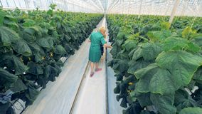 Background view of a female hothouse worker checking cucumber bushes and collecting harvest